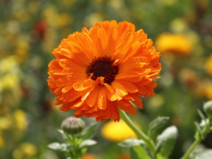 """Meaning and History of Calendula"""