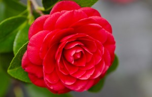 """history and meaning of camelia"""